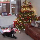 Nero (Staffordshire Bull Terrier)