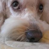 Marley (Caniche)
