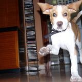 Thor (Beagle Harrier)