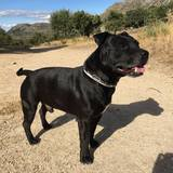 Mirko (Staffordshire Bull Terrier)