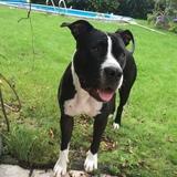 Maja (Amerikanische Bulldogge)