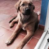 Alia (Perro de Pastor Garafiano)