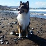 Rocky (Perro Pastor De Shetland)