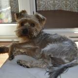 Mozart (Yorkshire Terrier)
