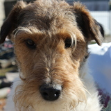 Gringo (Fox Terrier)