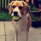Snoopy (Beagle)