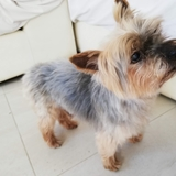 Ringo (Yorkshire Terrier)