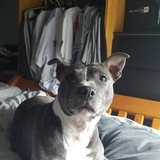 Lexi (American Staffordshire Terrier)