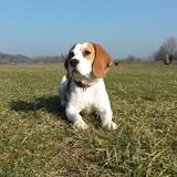 Ayla (Beagle)