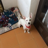 Fredi - Jack Russell Terrier
