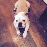 George (Bulldog Anglais)