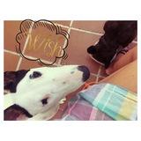 Zara (Bull Terrier)