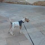 Max (Fox Terrier De Pelo Duro)