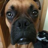 Tango (Boxer)