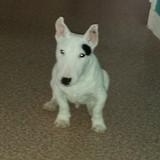 Leto (Bull Terrier Miniature)