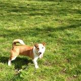 Benji (Jack Russell Terrier)