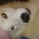 Greta  (Samoyedo)