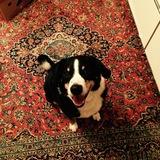 Gustav (Appenzeller Sennenhund)