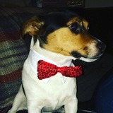 Max (Jack Russell Terrier)