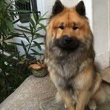 Wolf (Eurasier)