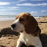Thor - Beagle