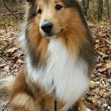 Luke (Sheltie)