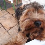 Gos - Yorkshire Terrier