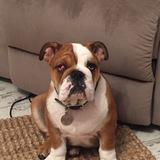 Wilson (English Bulldog)