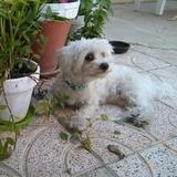Gero - Bichón Maltés