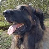 Thor (Leonberger)