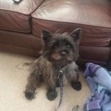 Reggie (Cairn Terrier)