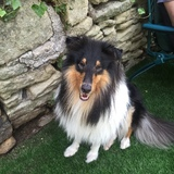1 (Rough Collie)