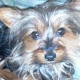 Peluche (Yorkshire Terrier)