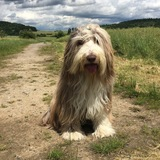 Kylie (Bearded Collie)