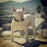 Ares (Bull Terrier)