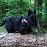 Trufa  - Scottish Terrier