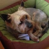Kiko (Yorkshire Terrier)