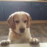 Oliver (Beagle)