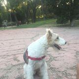 gonzo - Fox Terrier