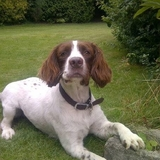Alfie (English Springer Spaniel)