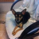 Pancho (Chihuahua)