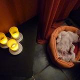 Coco (Bulldog Francés)