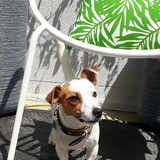 Cooki - Jack Russell