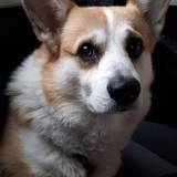 Coffee (Welsh Corgi Pembroke)