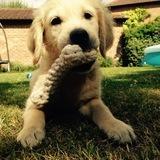 Buddy (Golden Retriever)