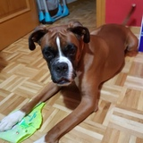 Zeus (Boxer)