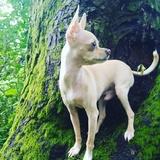 Sua (Chihuahua)