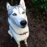 Athena (Siberian Husky)