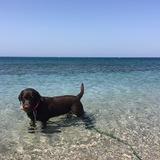 Cocoa - Labrador Retriever