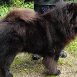 Gunpowder (Chow Chow)